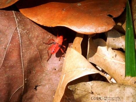 Kapok Bug - nymph  (Probergrothius nigricornis)