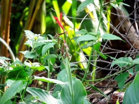 Wild Canna (Canna indica)