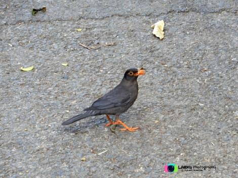 Nilgiri blackbird (T.s. simillimus)